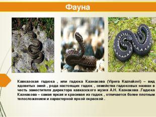 Кавказская гадюка , или гадюка Казнакова (Vipera Kaznakovi) – вид ядовитых зм