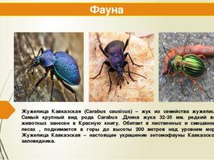 Жужелица Кавказская (Carabus causicus) – жук из семейства жужелиц . Самый кру
