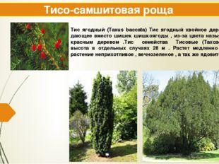 Тисо-самшитовая роща Тис ягодный (Taxus baccata) Тис ягодный хвойное дерево ,