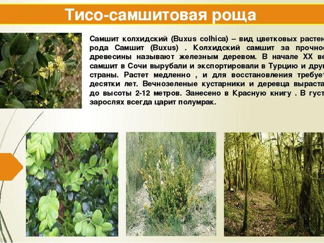 Тисо-самшитовая роща Самшит колхидский (Buxus colhica) – вид цветковых растен...