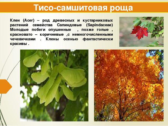 Тисо-самшитовая роща Клен (Acer) – род древесных и кустарниковых растений сем...