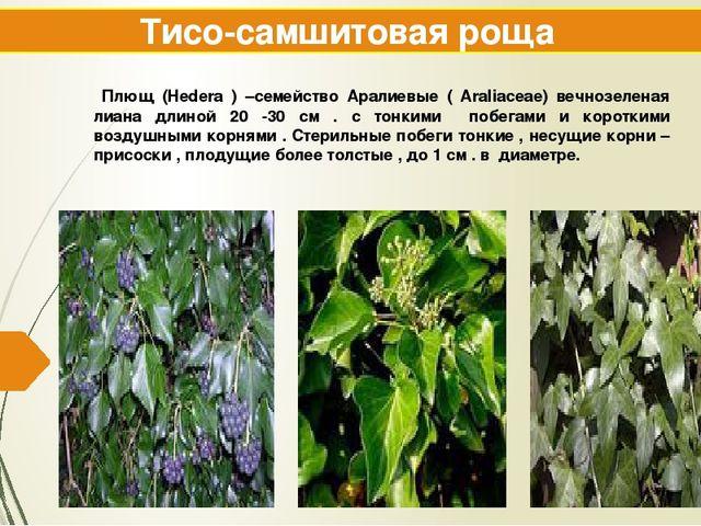 Тисо-самшитовая роща Плющ (Hedera ) –семейство Аралиевые ( Araliaceae) вечноз...