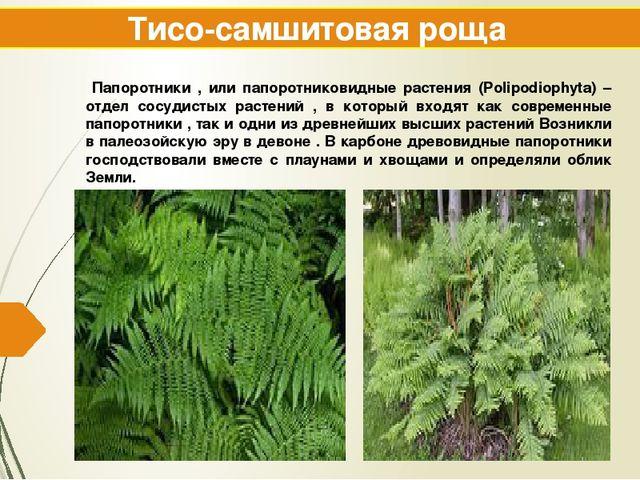 Тисо-самшитовая роща Папоротники , или папоротниковидные растения (Polipodiop...