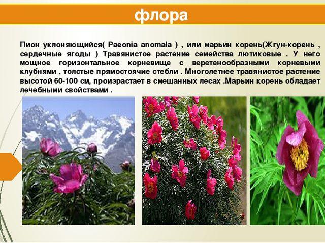 флора Пион уклоняющийся( Paeonia anomala ) , или марьин корень(Жгун-корень ,...