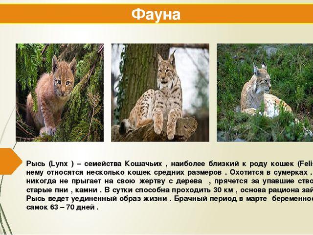 Рысь (Lynx ) – семейства Кошачьих , наиболее близкий к роду кошек (Felis ) к...