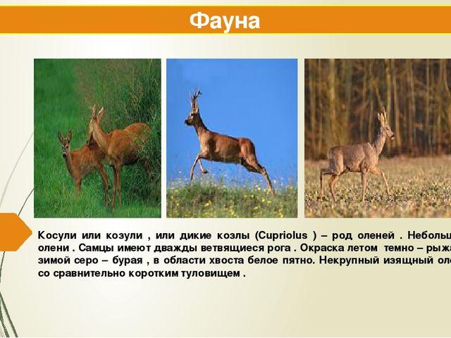 Косули или козули , или дикие козлы (Cupriolus ) – род оленей . Небольшие оле...