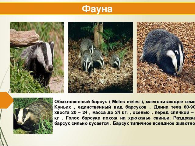 Обыкновенный барсук ( Meles meles ), млекопитающее семейства Куньих , единств...