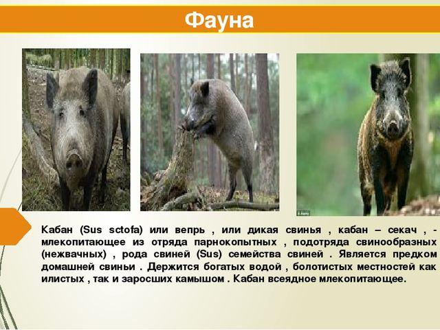 Кабан (Sus sctofa) или вепрь , или дикая свинья , кабан – секач , - млекопита...