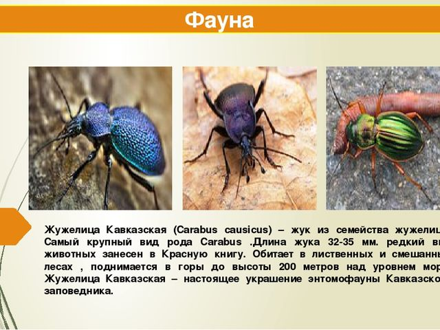 Жужелица Кавказская (Carabus causicus) – жук из семейства жужелиц . Самый кру...