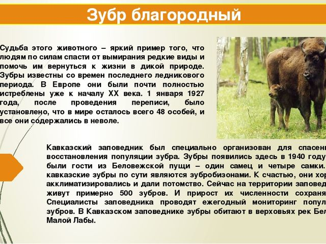 Зубр благородный Кавказский заповедник был специально организован для спасени...