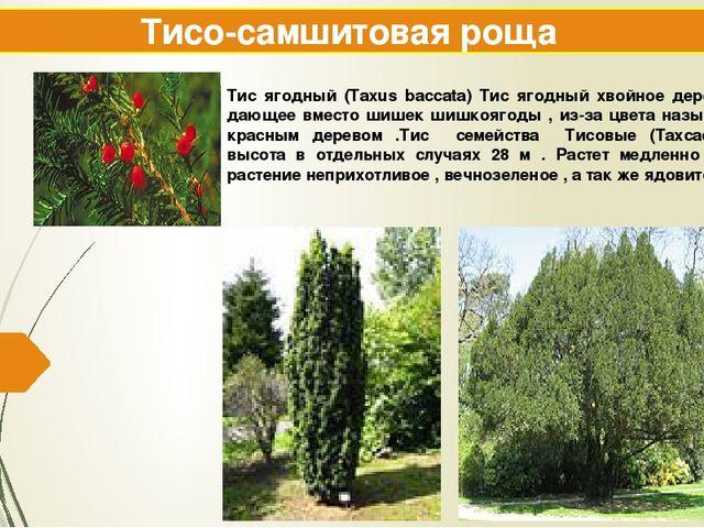 Тисо-самшитовая роща Тис ягодный (Taxus baccata) Тис ягодный хвойное дерево ,...