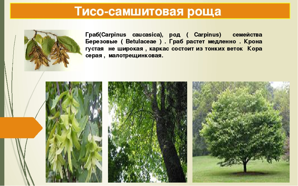 Тисо-самшитовая роща Граб(Carpinus caucasica), род ( Carpinus) семейства Бере...