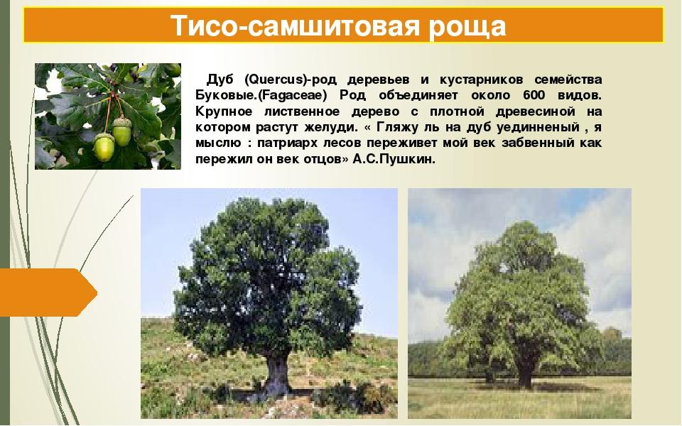 Тисо-самшитовая роща Дуб (Quercus)-род деревьев и кустарников семейства Буков...