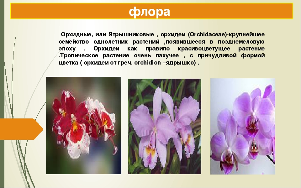 флора Орхидные, или Ятрышниковые , орхидеи (Orchidaceae)-крупнейшее семейство...