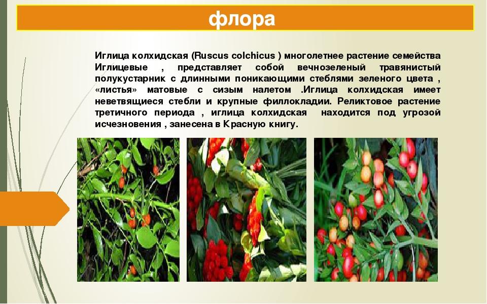 флора Иглица колхидская (Ruscus colchicus ) многолетнее растение семейства Иг...