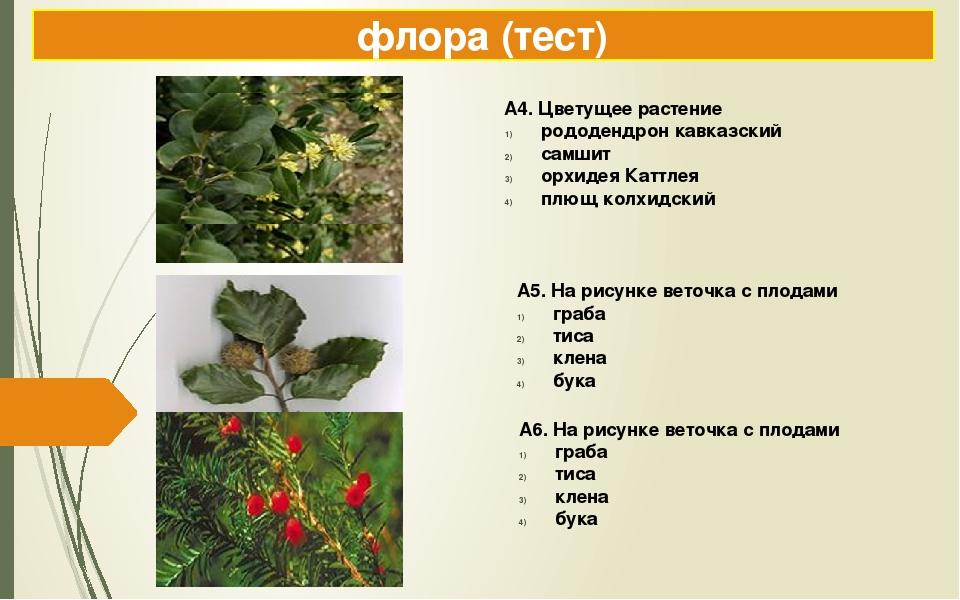 флора (тест) А4. Цветущее растение рододендрон кавказский самшит орхидея Катт...
