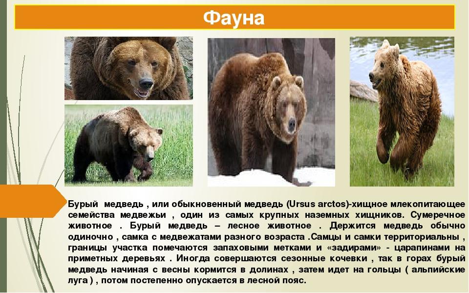 Бурый медведь , или обыкновенный медведь (Ursus arctos)-хищное млекопитающее...