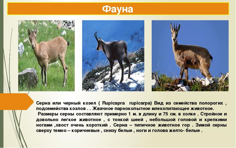 Серна или черный козел ( Rupicapra rupicarpa) Вид из семейства полорогих , по...