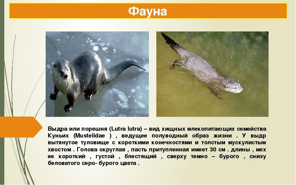 Выдра или порешня (Lutra lutra) – вид хищных млекопитающих семейства Куньих (...