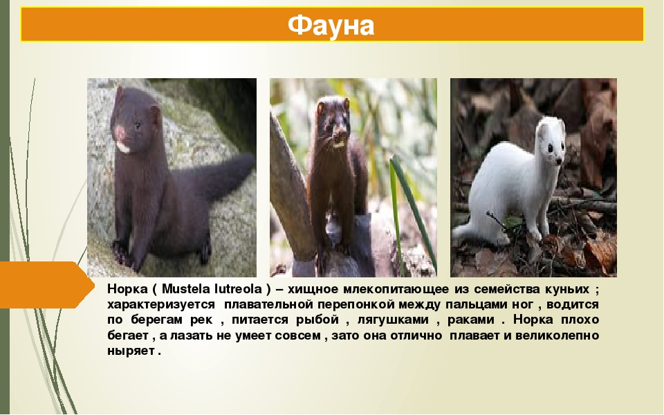 Норка ( Mustela lutreola ) – хищное млекопитающее из семейства куньих ; харак...