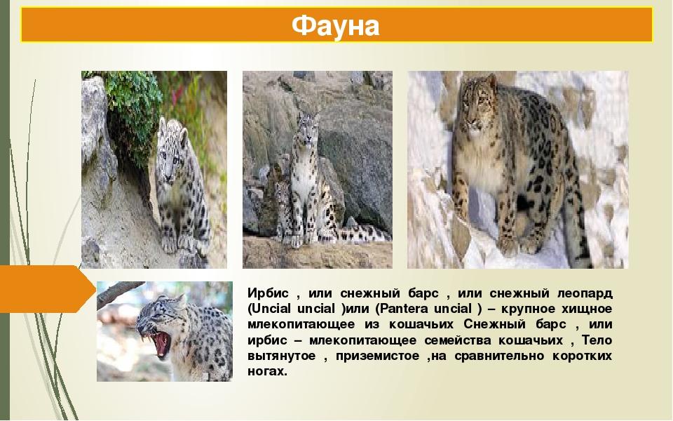 Ирбис , или снежный барс , или снежный леопард (Uncial uncial )или (Pantera u...