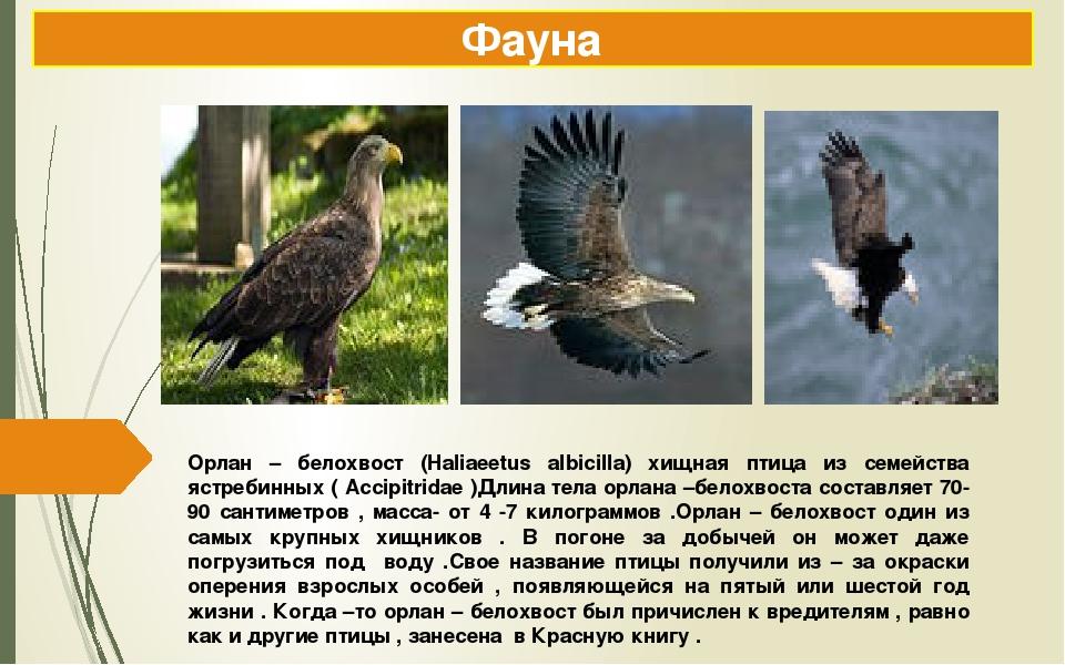 Орлан – белохвост (Haliaeetus albicilla) хищная птица из семейства ястребинны...