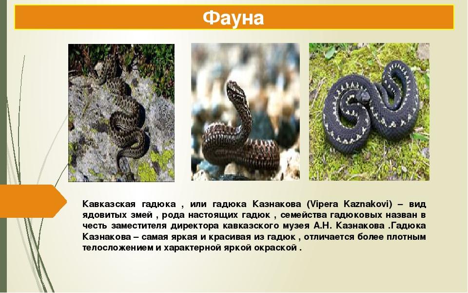 Кавказская гадюка , или гадюка Казнакова (Vipera Kaznakovi) – вид ядовитых зм...