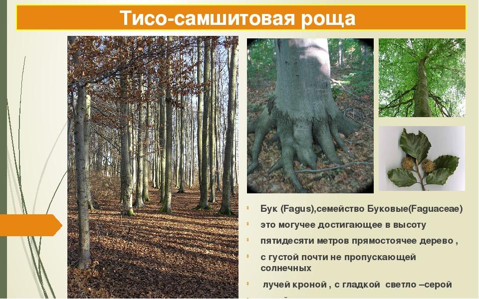 Тисо-самшитовая роща Бук (Fagus),семейство Буковые(Faguaceae) это могучее дос...
