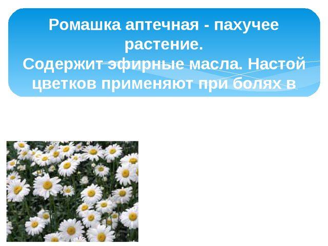 Ромашка аптечная - пахучее растение. Содержит эфирные масла. Настой цветков п...