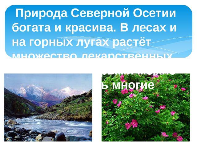 Природа Северной Осетии богата и красива. В лесах и на горных лугах растёт м...