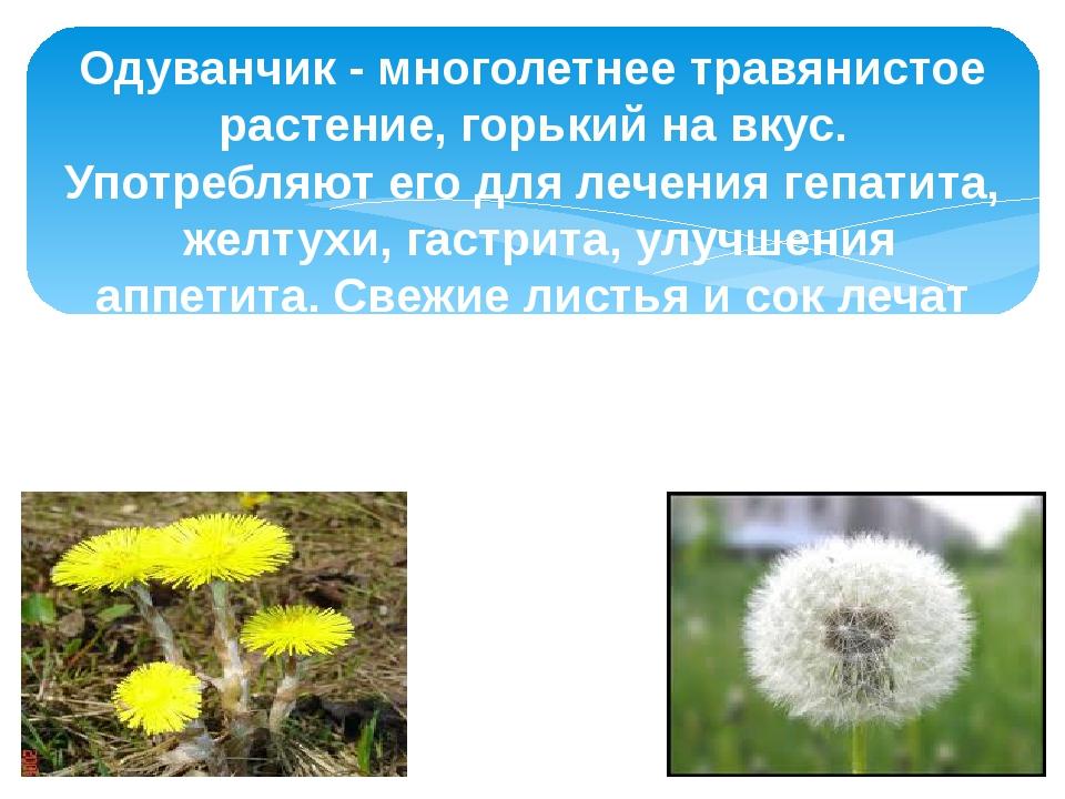 Одуванчик - многолетнее травянистое растение, горький на вкус. Употребляют ег...