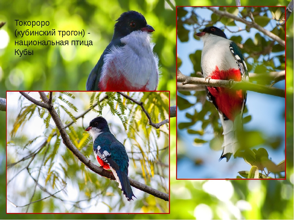 Токороро (кубинский трогон) - национальная птица Кубы