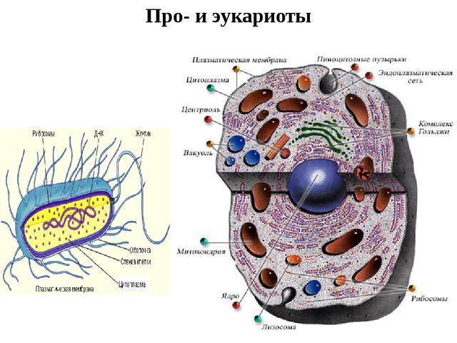 Про- и эукариоты