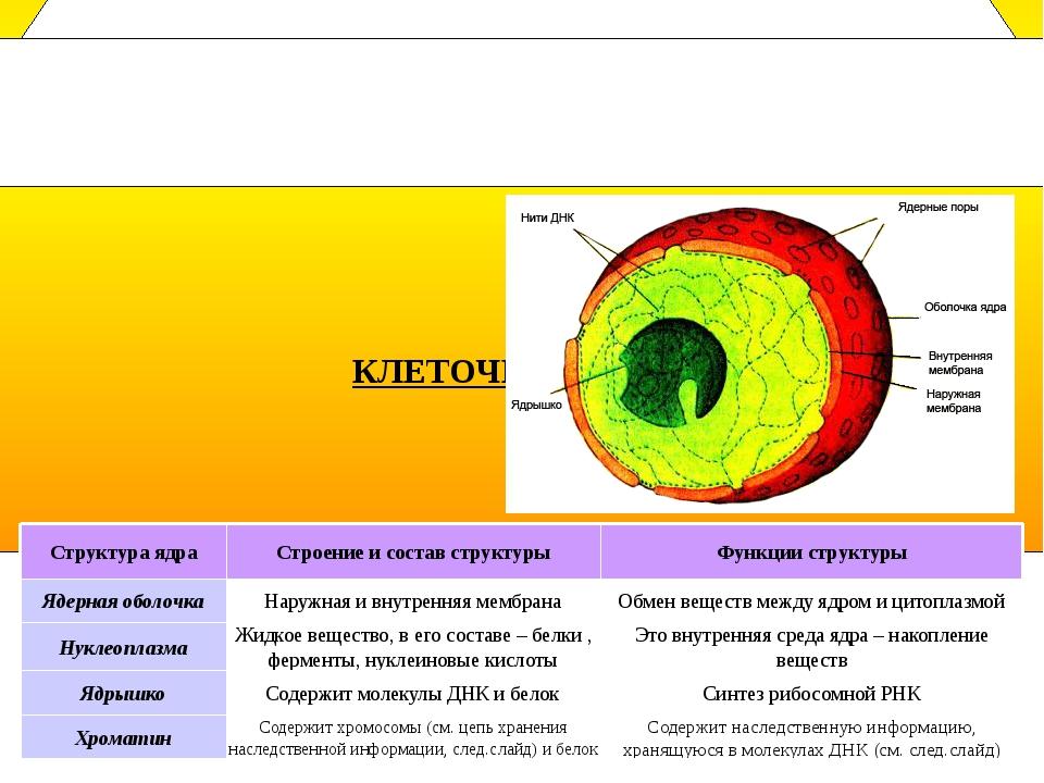 Клеточное ядро- это важнейшая часть клетки. Оно есть почти во всех клетках м...
