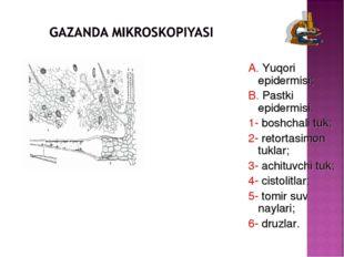 A. Yuqori epidermisi; B. Pastki epidermisi. 1- boshchali tuk; 2- retortasimon