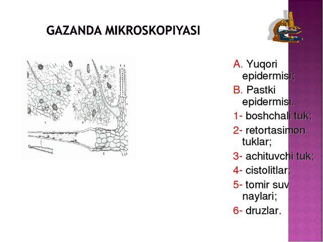A. Yuqori epidermisi; B. Pastki epidermisi. 1- boshchali tuk; 2- retortasimon...
