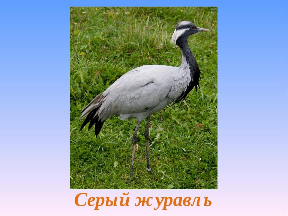 Серый журавль