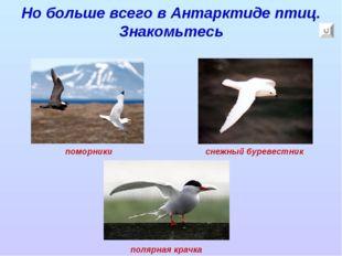 Но больше всего в Антарктиде птиц. Знакомьтесь поморники снежный буревестник