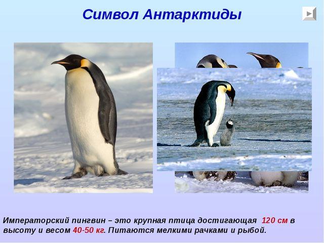 Символ Антарктиды Императорский пингвин – это крупная птица достигающая 120 с...