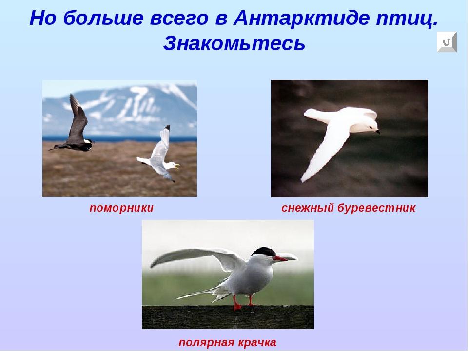 Но больше всего в Антарктиде птиц. Знакомьтесь поморники снежный буревестник...