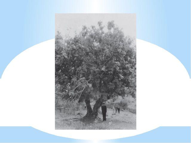 Дерево инжира. Аул Б. Кичмай Лазаревского района