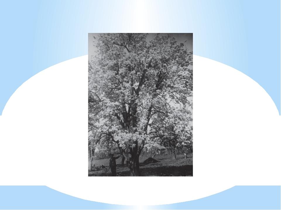 Цветущее дерево груши сорта Хутема. Аул Агуй Туапсинского района