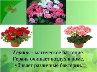 Герань – магическое растение. Герань очищает воздух в доме, убивает различны