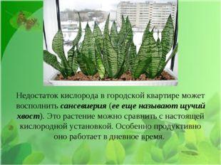 Недостаток кислорода в городской квартире может восполнить сансевиерия (ее ещ