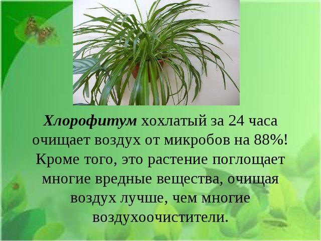 Хлорофитум хохлатыйза 24 часа очищает воздух от микробов на 88%! Кроме того...