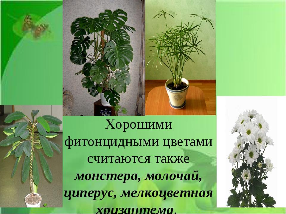 Хорошими фитонцидными цветами считаются также монстера, молочай, циперус, ме...