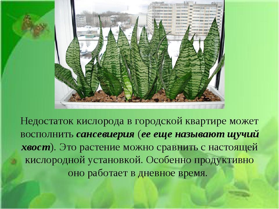 Недостаток кислорода в городской квартире может восполнить сансевиерия (ее ещ...