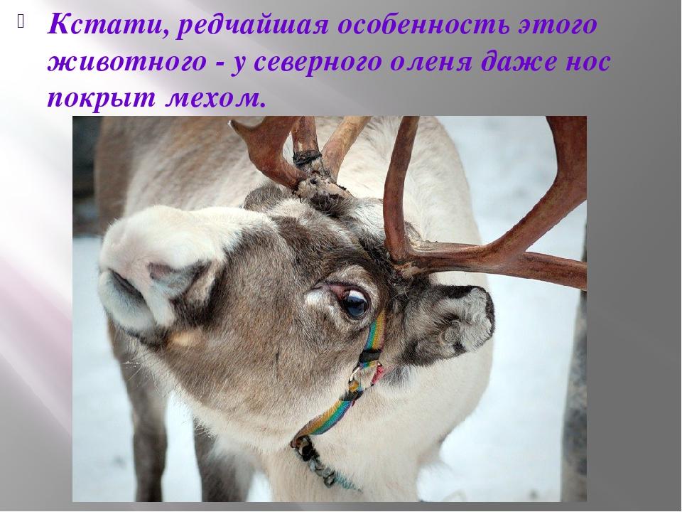 Кстати, редчайшая особенность этого животного - у северного оленя даже нос по...