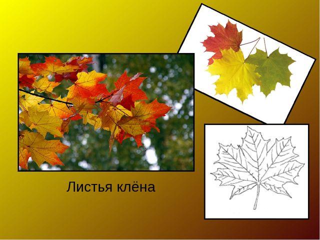 Листья клёна