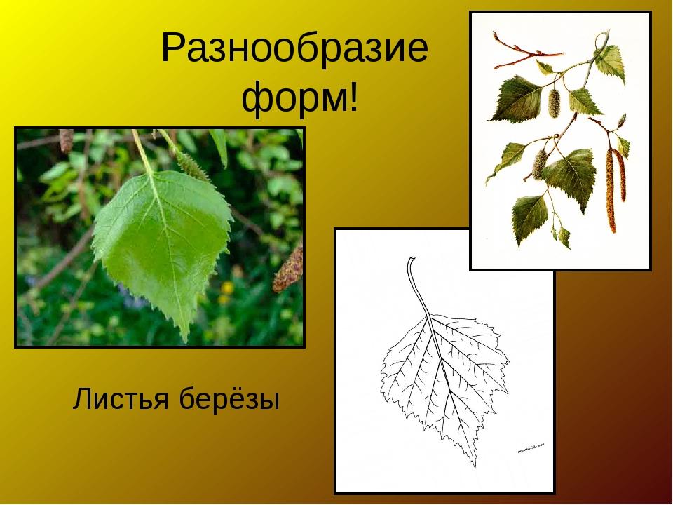 Разнообразие форм! Листья берёзы
